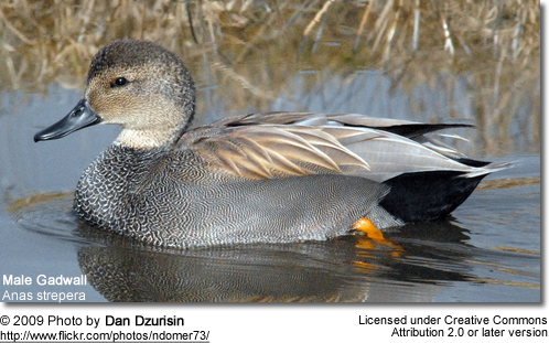 Gadwalls | Beauty of Birds