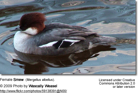 Female (Hen) Smew