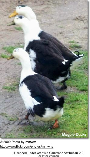 Magpie Ducks