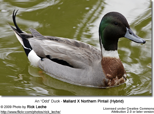 Mallard X Northern Pintail (Hybrid)