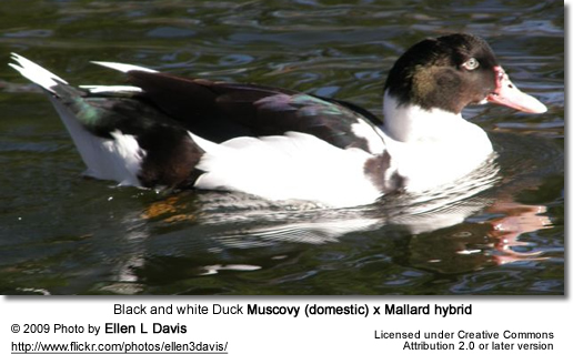 Black and white Duck Muscovy (domestic) x Mallard hybrid