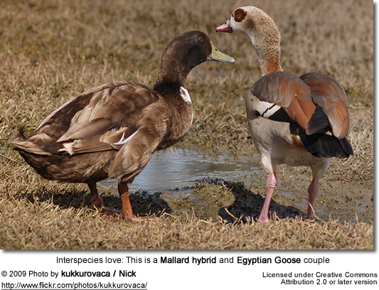 Mallard hybrid and Egyptian Goose couple