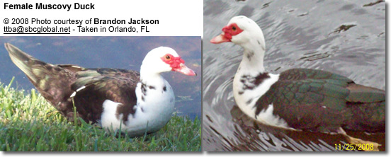 Muscovy Ducks: Pests or Beneficial? | Beauty of Birds