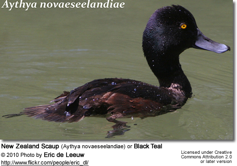 New Zealand Scaup (Aythya novaeseelandiae) or Black Teal