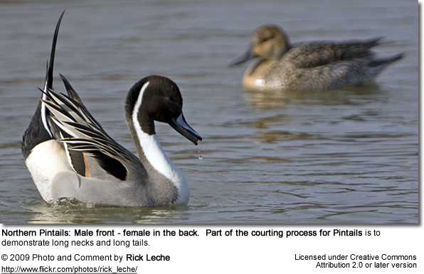 Northern Pintail courtship behavior