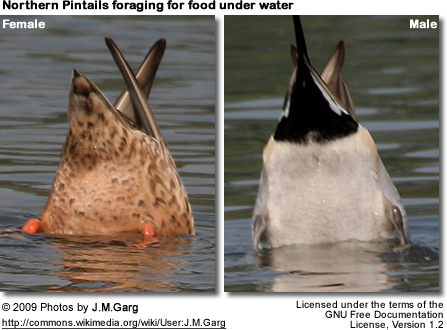 """Tails Up"" - Northern Pintails feeding under water"