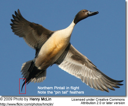 "Northern Pintail in flight - note the elongated ""pin feathers"""