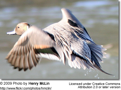 Northern Pintail in flight - from the back