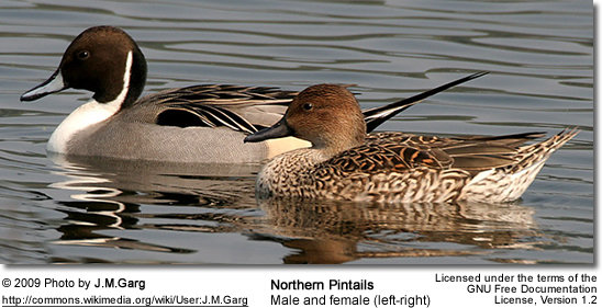 Northern Pintail Male and  Female