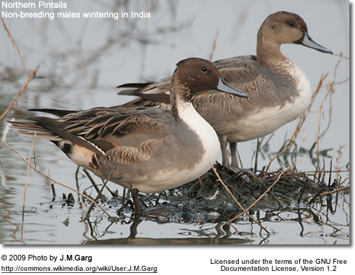 Northern Pintails - wintering males