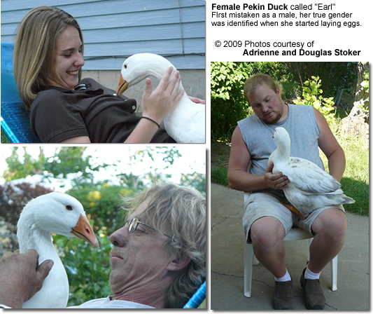 Domesticated Pekin DUck with human family