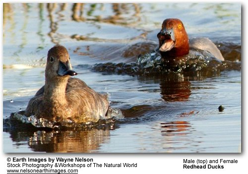 Red-headed Ducks