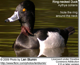 Male Ringneck Duck - note the ring around the neck