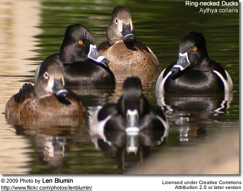 Ringnecked Ducks (males and females)