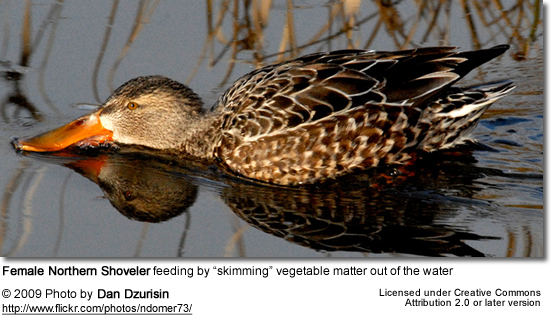 Female Shoveler Feeding