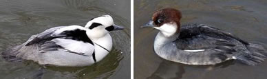 Smew Ducks