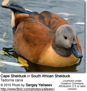 Cape Shelduck or South African Shelduck, Tadorna cana