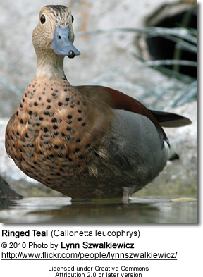 Spotted Whistling Duck, Dendrocygna guttata