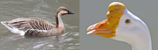 Swan Goose - Female and Male