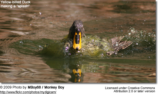 "Yellow-billed Duck making a ""splash"""