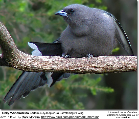 Dusky Woodswallow (Artamus cyanopterus) - stretching its wing