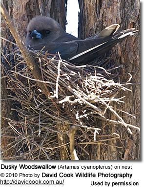 Dusky Woodswallow sitting on nest