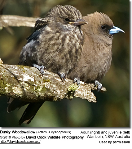 Dusky Woodswallow (Artamus cyanopterus) - Right Adult; Left Immature