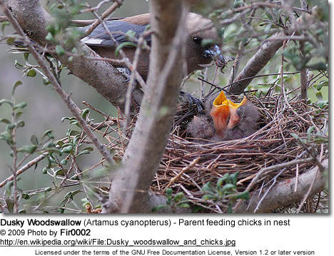 Dusky Woodswallow (Artamus cyanopterus) - Parent feeding chicks in nest