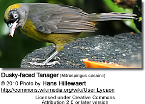 Dusky-faced Tanager (Mitrospingus cassinii)