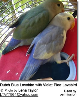 color mutations of the peachfaced lovebirds aka rosy faced