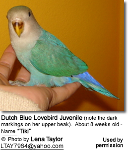 "Dutch Blue Lovebird Juvenile (note the dark markings on her upper beak).  About 8 weeks old - Name ""Tiki"""