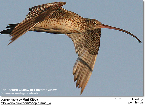 Far Eastern Curlew or Eastern Curlew (Numenius madagascariensis)