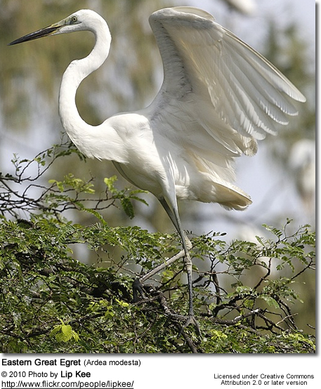 Eastern Great Egret (Ardea modesta
