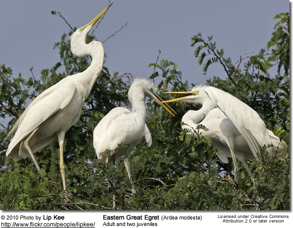 Eastern Great Egret (Ardea modesta) Adult and two uveniles