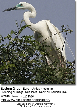 Eastern Great Egret (Ardea modesta) - breeding plumage