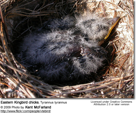Eastern Kingbird chicks, Tyrannus tyrannus
