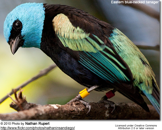 Eastern blue-necked tanager