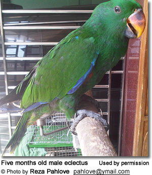 Five months old male eclectus
