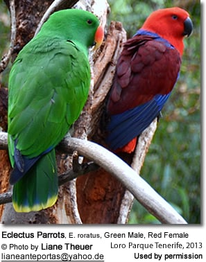 Eclectus Parrots, E. roratus, Green Male, Red Female