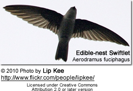 Edible-nest Swiftlet (Aerodramus fuciphagus)