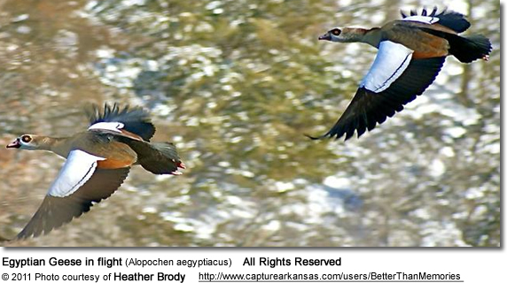 Egyptian Geese in flight (Alopochen aegyptiacus)