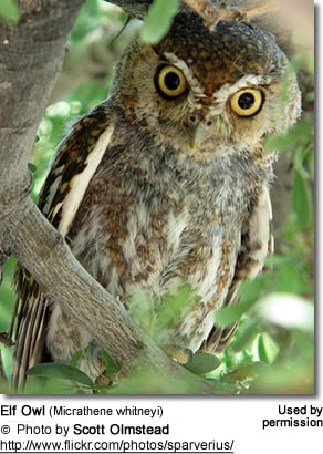Elf Owl (Micrathene whitneyi)