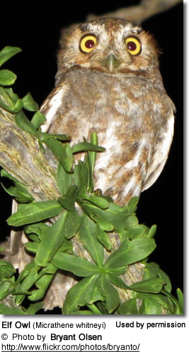 Elf Owls (Micrathene whitneyi)