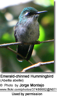 Emerald-chinned Hummingbirds (Abeillia abeillei)