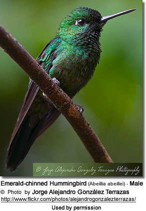 Male Emerald-chinned Hummingbird