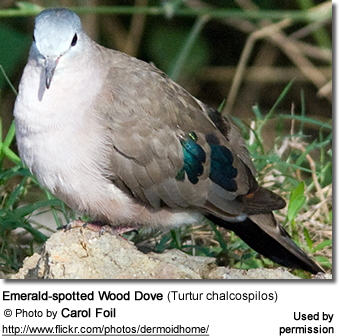 Green-spotted Wood Doves