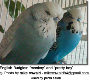 English Budgies: light blue is called monkey and dark blue is pretty boy