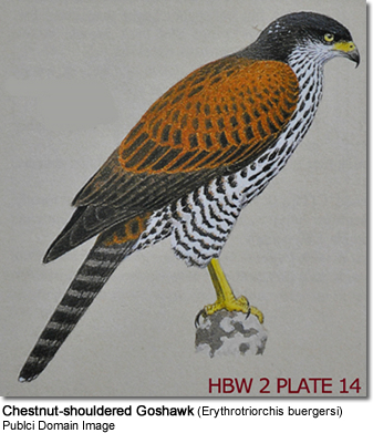 Chestnut-shouldered Goshawk (Erythrotriorchis buergersi)