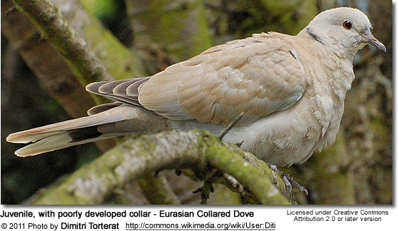 Juvenile, with poorly developed collar - Eurasian Collared Dove