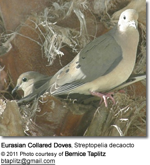 Eurasian Collared Doves, Streptopelia decaocto
